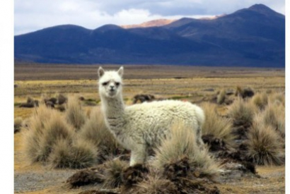 WHAT ARE THE DIFFERENCES BETWEEN CACHEMIRE AND ALPACA ?